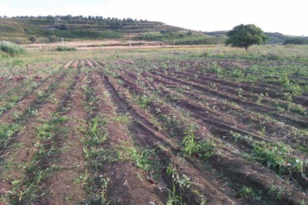 Il campo di cipolle di Tropea estirpato come atto intimidatorio